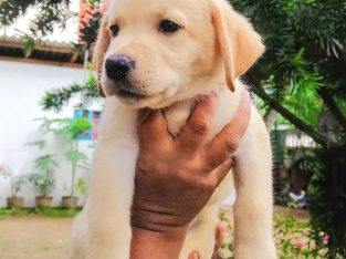 Quality labrador puppies for sale