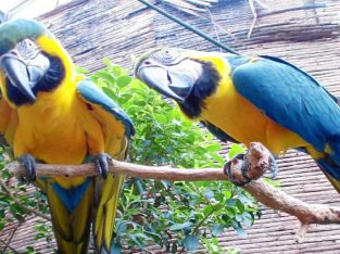 Hand Reared Baby Blue & Gold Macaw Parrots