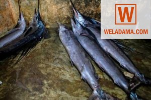 Sailfish fish prices and for sale in sri lanka