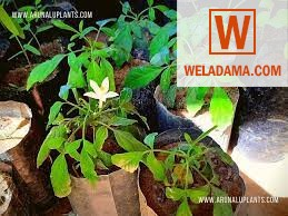 Binkohomba Plants or sale,