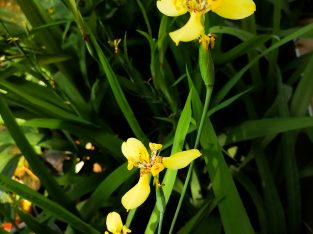 Beautiful Yellow Irish Orchid Flower Plants