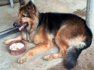 german shephard male dog