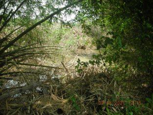 BAMBOO TREE FOR SALE AT YAKKALA