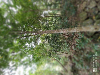 Agarwood plantations