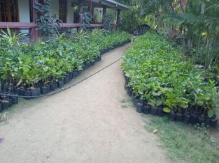 Air Layered Apple Guava Plants for Sale